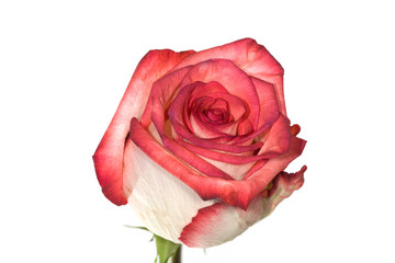 isolated white and red rose