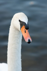 Canvas Prints Swan zwaan