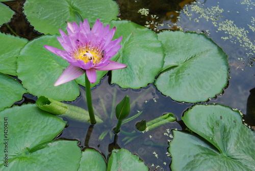 Lotus En Fleur Et En Bouton Stock Photo And Royalty Free Images On