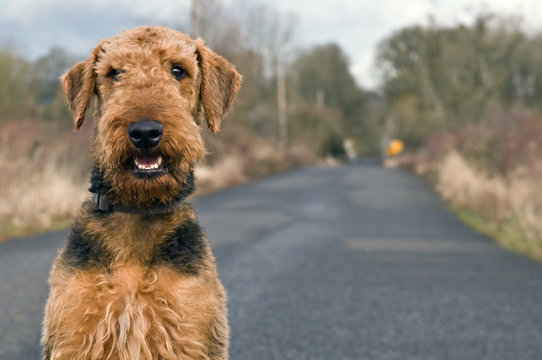 Airedale terrier on open country road