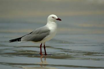 goelan gris plage macro eau