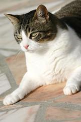 gros chat en position de sphinx