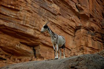 chevre sur la falaise de bandiagara au mali