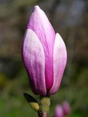 Rosa Blütenknospe