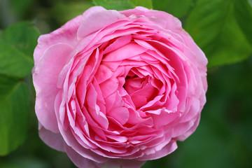Old historic rose