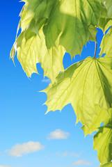 Backlite maple leaves