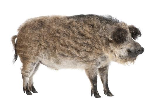 Mangalitsa or curly-hair hog