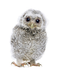 front view of a owlet looking at the camera - Athene noctua (4 w