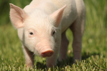 baby lucky pig