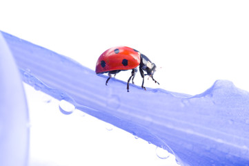 small red Ladybird