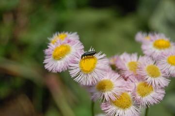 花に寄る昆虫