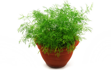 Fresh dill in the pot