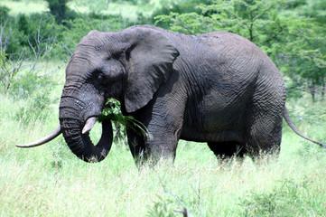 Elefant frißt Gras im Krüger Nationalpark - Südafrika