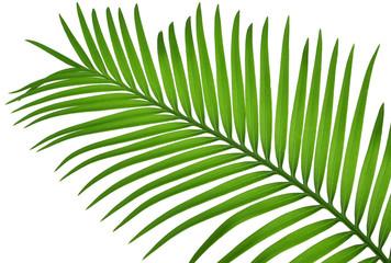 Papiers peints Palmier feuille de sagoutier