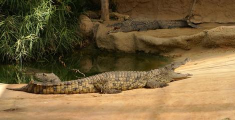 Printed roller blinds Tiger crocodiles