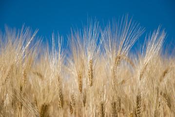 Spighe di grano al cielo