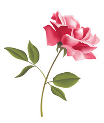 flower- rose
