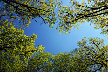 spring forest, green trees and a clear blue sky