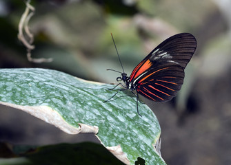 Orange Longwing dryas julia butterfly