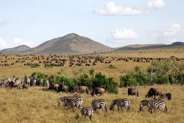 Zebra and Wildebeest on the grasslands of Kenya Wall mural