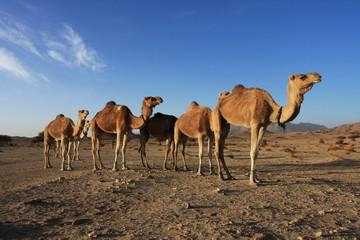 Troupeau de chameau