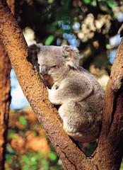 Koala in the tree