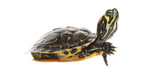 Water turtle isolated on white background
