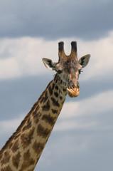 head of giraffe over blue sky