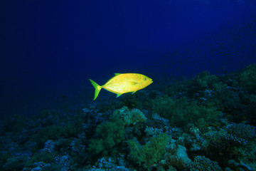 Orangespotted Trevally hunting at dusk