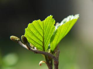 junge Erlenblätter