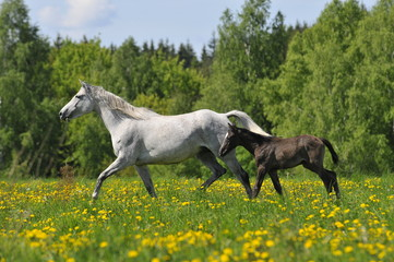 the white horse whith foal trots on the meadow