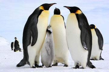 Photo sur Toile Pingouin Antarctic : Emperor penguins, Lunch time