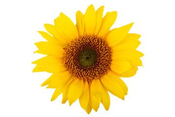Sonnenblume freigestellt