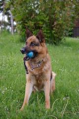 Schäferhund mit Ball im Mund