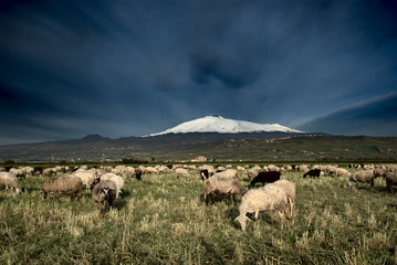 flock of sheep grazing on background Etna snowy