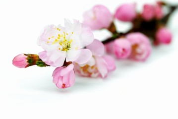 Wall Mural - Pink Plum Blossom Isolated on the White