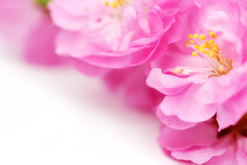 Wall Mural - Pink Flower Background