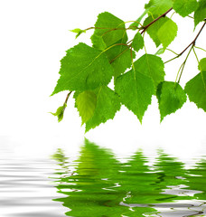 Birch leaves and reflection in water.