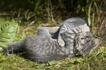 combat de 2 chatons