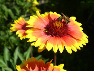 a bee obtains nectar