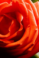 close up of rose with tender red petals