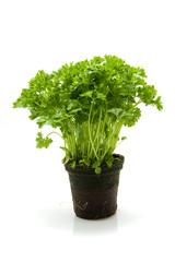 plant parsley isolated on white background