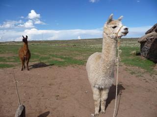 llamas in the altiplano