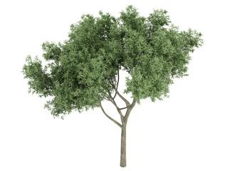 Willow (Salix fragilis)