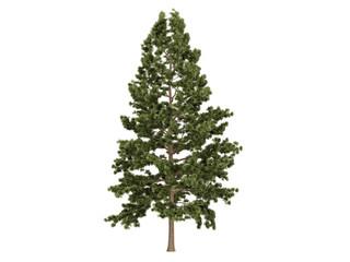 Cork pine (Pinus strobus)