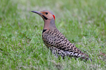 Fotoväggar - Northern Flicker Colaptes auratus