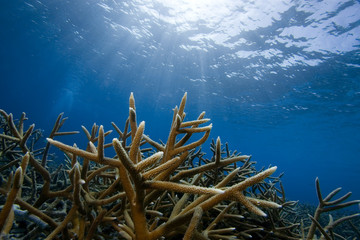 Staghorn Coral, Bonaire
