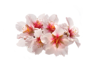 Almond tree pink flowers.