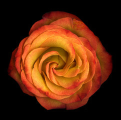 Single vibrant orange rose isolated on black background