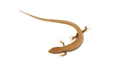 Running lizard over white background